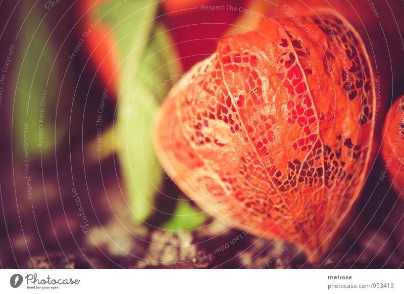 Physalis genetzt Natur Pflanze Erde Sonnenlicht Herbst Schönes Wetter Blatt Blüte Nutzpflanze Wildpflanze exotisch Südfrüchte Blasenkirschen