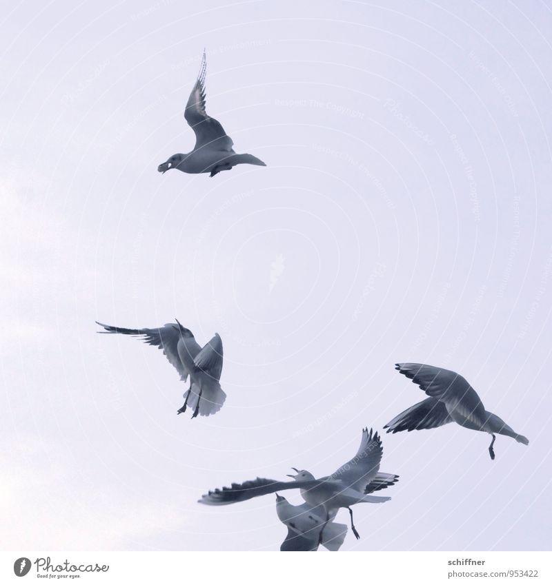 Wenn 4 sich streiten... Himmel nur Himmel Wolkenloser Himmel Tier Vogel Tiergruppe Herde Schwarm fliegen Fressen füttern Futter Futterneid Gier Möwe Möwenvögel