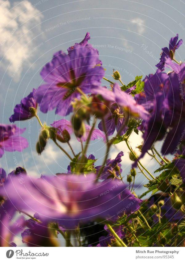 Käfersicht Blume Pflanze grün Froschperspektive violett Jungpflanze Wildpflanze Himmel Wattewölkchen Frühling sprießen Wachstum Wiese Wiesenblume Makroaufnahme