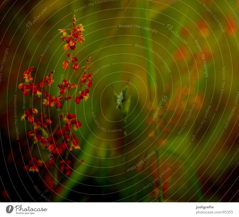 Wiese Heide Blüte Blume Pflanze Stengel rot braun schwarz Sommer Umwelt Wachstum gedeihen schön Farbe Wildtier Natur einfach Unkraut Heilpflanzen