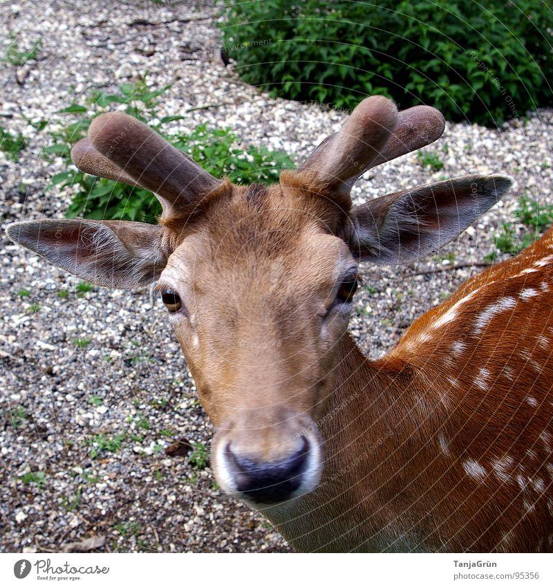 *treuherzig guck* Horn braun Tier Kies Sträucher grün Wildpark Schnauze Hirsche Reh weich Schüchternheit Neugier Kieselsteine Säugetier schön Dammwild Punkt