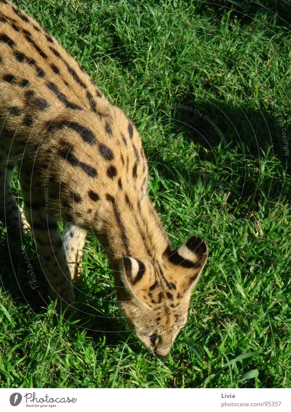 Cheetah Breeding Project Natur Tier Katze Afrika Wildtier Safari füttern Südafrika Raubkatze