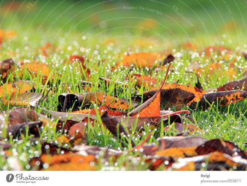 Novembermorgen... Umwelt Natur Landschaft Pflanze Wassertropfen Herbst Schönes Wetter Gras Blatt Garten glänzend leuchten liegen dehydrieren Wachstum