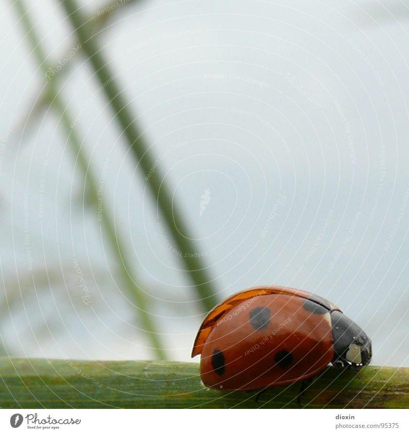 Walk The Line Natur grün blau rot schwarz Tier Wiese Gras Linie Umwelt Erfolg Flügel Insekt Länder Halm erste