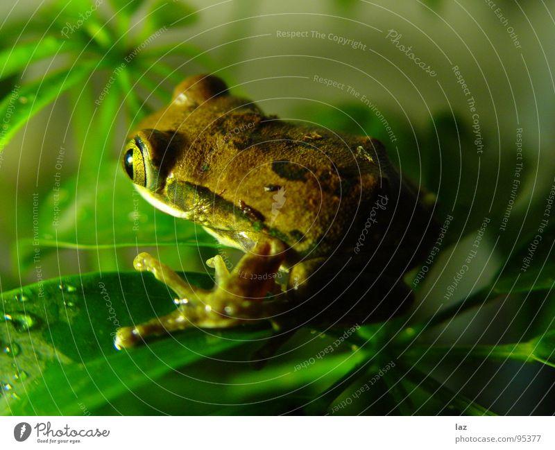 Sei kein Frosch grün braun Pflanze Küssen hüpfen springen Farbe Muster beige Südamerika Kröte Lurch Lamelle Auge Hautatmung gold sprungbereit Froschprinz