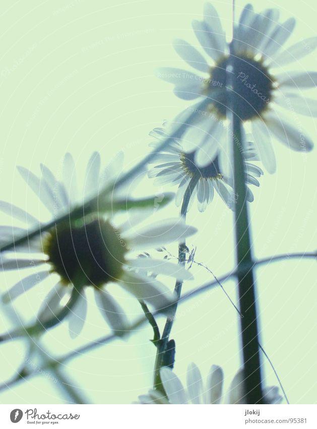 Gegen-Licht-Gestalten VI Gras grün Gegenlicht Allergiker Pflanze Wiese Frühling Wachstum glänzend Unschärfe Halm Stengel Ähren Feld Blühend Gänseblümchen