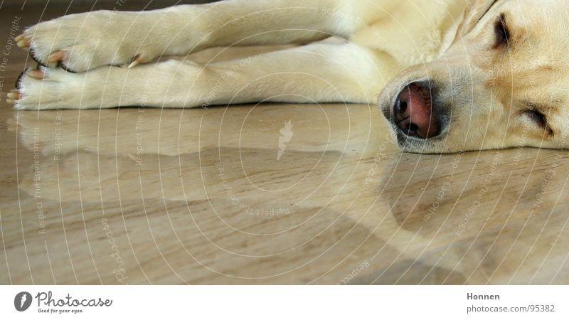 Stabile Seitenlage Hund Labrador blond schlafen Reflexion & Spiegelung Nase Fell Säugetier Müdigkeit Knubbelnase Marmor Erholung liegen