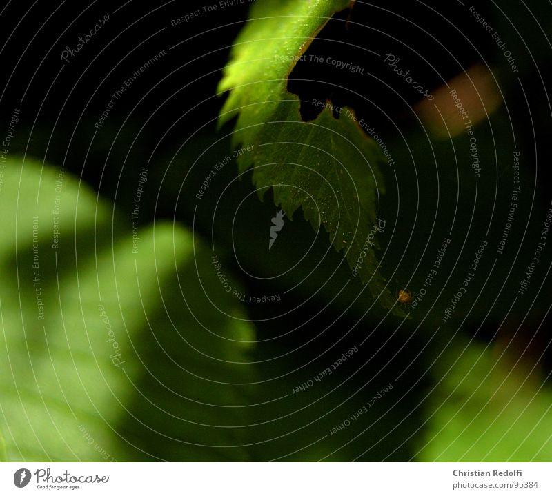 Spinne auf Blattsalat Natur grün gelb Spinne lassen Blattadern