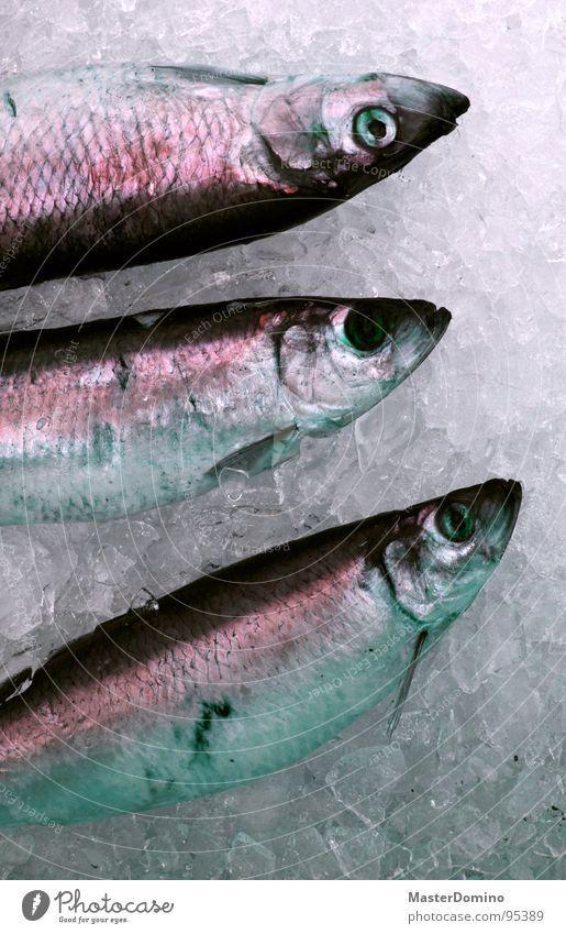 Herr Ing und seine Brüder Eiswürfel verkaufen frisch Ernährung Lebensmittel 3 Dreifaltigkeit Starrer Blick Meer See Meeresfrüchte Hering Fischereiwirtschaft