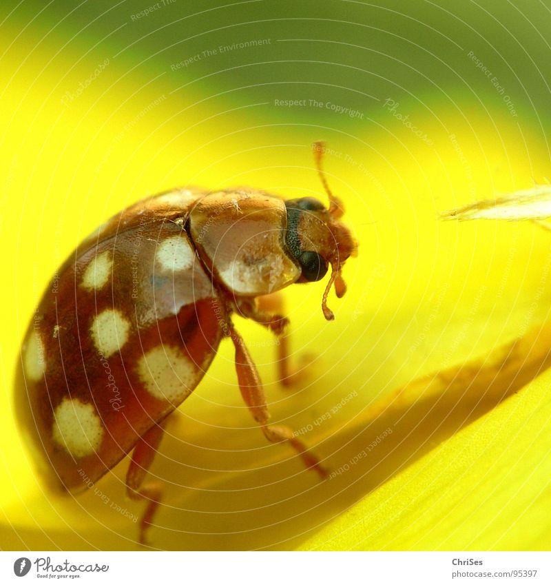 Sechzehnfleckiger Marienkäfer weiß grün Sommer Tier gelb Frühling orange Punkt Insekt Käfer