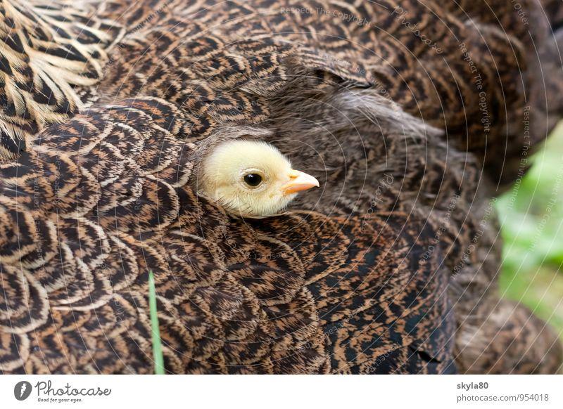 Lieblingsplatz Haushuhn Vogel Schnabel verstecken Blick Küken Tierjunges nah Verbundenheit eng Haustier Huhn Garten Zusammensein Freundschaft Liebe