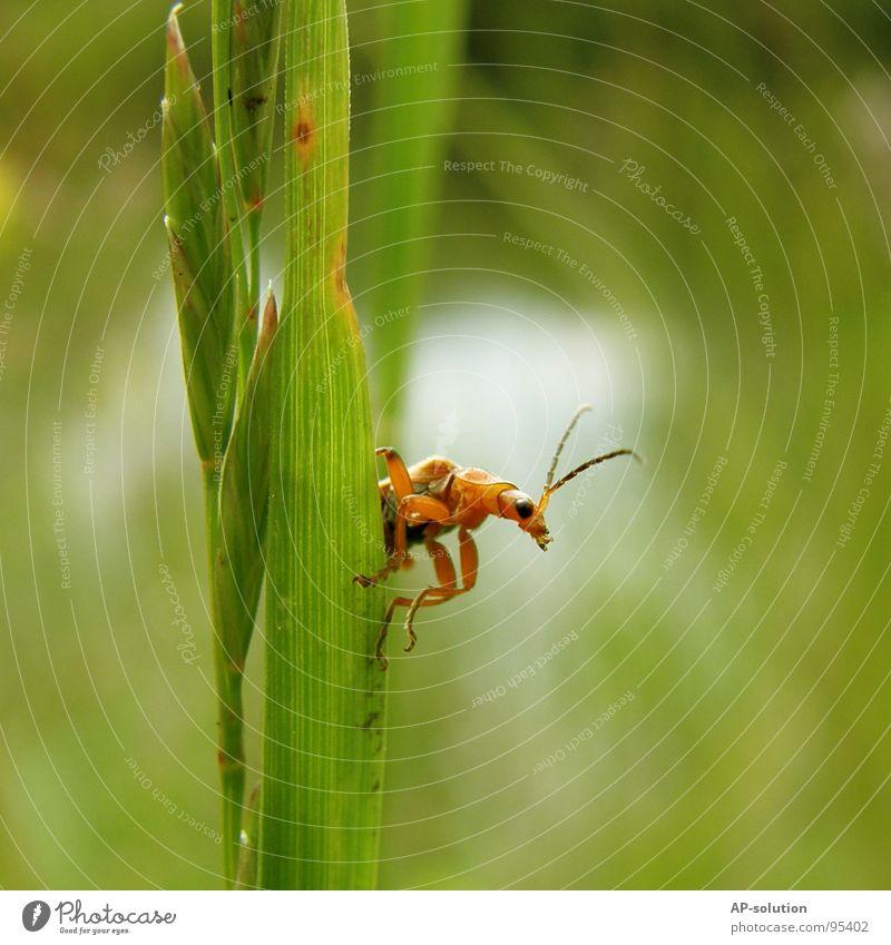 Käfer/Weichkäfer *1 Klettern Bergsteigen Natur Tier festhalten krabbeln klein grün schwarz fleißig Insekt winzig Fühler überblicken Halm grasgrün Schädlinge