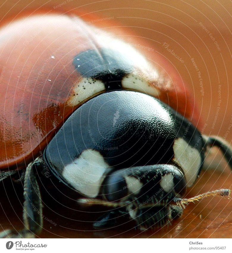 Siebenpunkt-Marienkäfer 7 Insekt weiß schwarz Tier Käfer Frühling Sommer Makroaufnahme Nahaufnahme orange Punkt beetle ChriSes