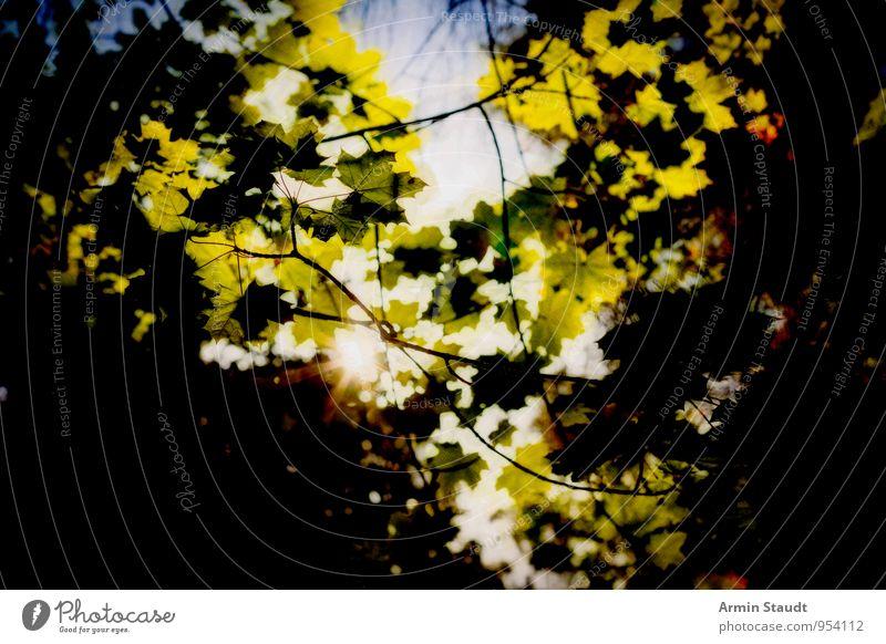 Sonne durchs Blätterdach Natur Pflanze Himmel Wolkenloser Himmel Sonnenlicht Sommer Schönes Wetter Baum Blatt Ahorn Park Wald leuchten Wachstum ästhetisch