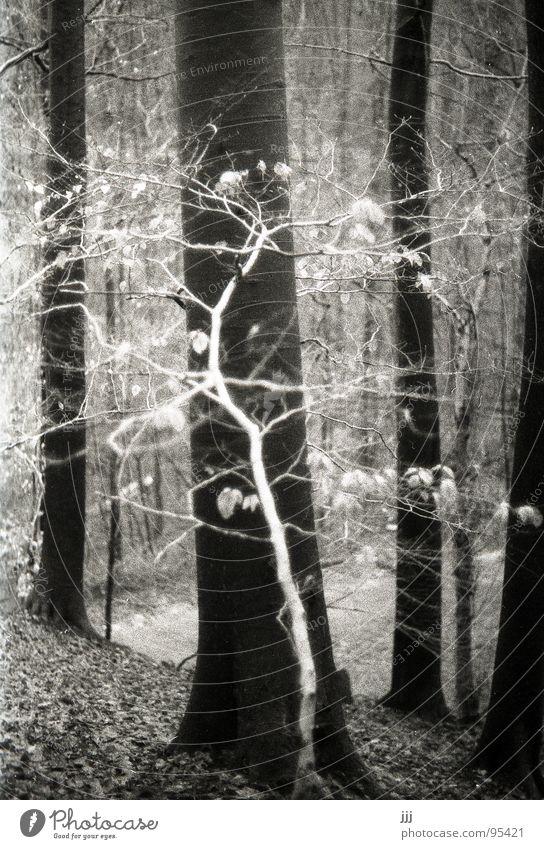 kleine weiße Fee Birke Buche Wald Baum groß Berghang Baumstamm Blatt Winter durchkreuzen Märchen Märchenwald mystisch Schwarzweißfoto Vertrauen Ast Kontrast