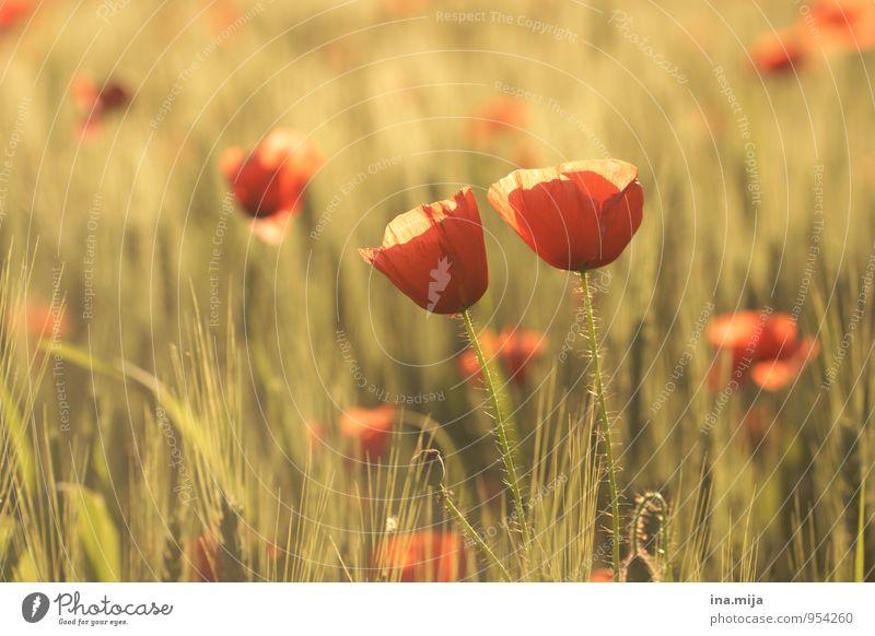 zweisam Umwelt Natur Pflanze Sommer Herbst Schönes Wetter Blume Blüte Nutzpflanze Wildpflanze Feld Blühend Zusammensein Treue Partnerschaft Vertrauen rot Mohn
