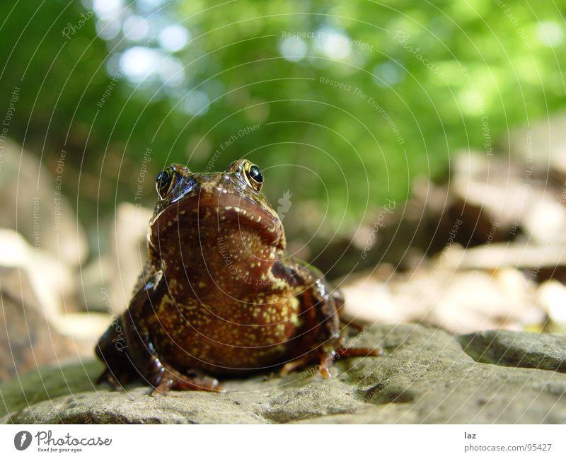 Frosch Wasserfrosch Tier Zoologie springen Kaulquappe grün braun Pflanze Küssen hüpfen Farbe Muster beige Frühling Wald Bach Fragen feucht knotig Teich Sumpf