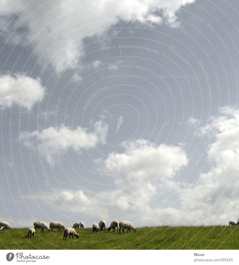 Deichschaaafe! Himmel Ferien & Urlaub & Reisen Pflanze weiß Meer Wolken Tier Ferne Wärme Wiese Gras Küste Freiheit Luft Wetter offen