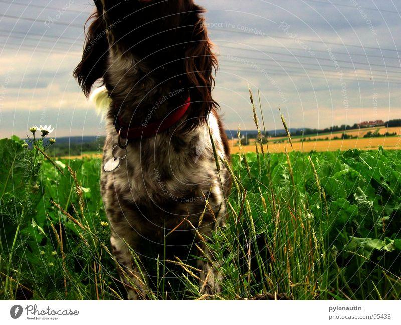 kopfloser Hund grün blau Tier Wiese Landschaft Feld Säugetier Haustier