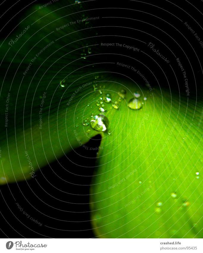 Constrastic Rain nass schwarz grün feucht dunkelgrün gestreift Klarheit Pflanze Salatblatt Wassertropfen Regen Außenaufnahme Makroaufnahme Tunnel Nahaufnahme