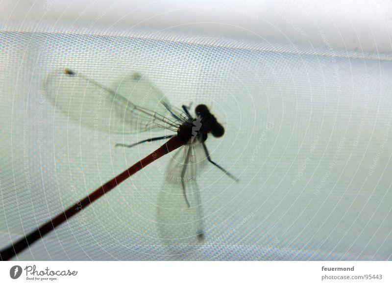 die_libelle Tier fliegen Flügel Insekt Teich Libelle flattern Sechsfüßer Frühe Adonislibelle