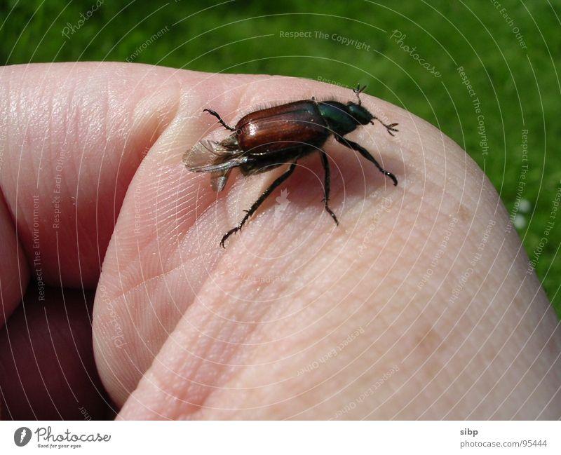 Käfer-Finger-Landebahn Natur grün Sommer Leben Wiese braun Haut klein fliegen bedrohlich Vertrauen ökologisch wenige Umweltschutz