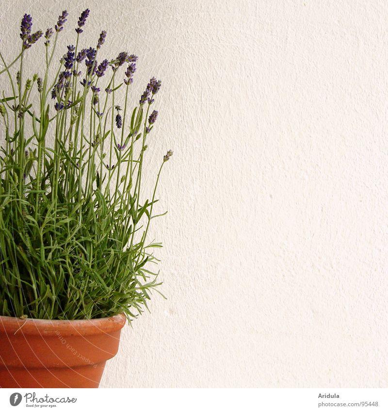 lavendel Lavendel violett Blume Topf Parfum weiß Wand grün Pflanze Blüte Sommer blau Duft Heilpflanzen