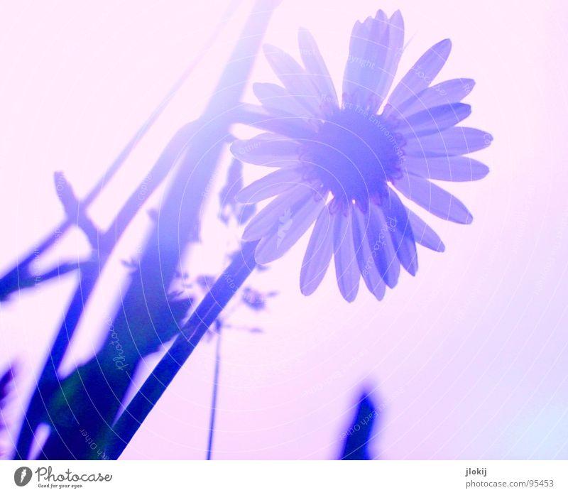 Gegen-Licht-Gestalten VII Gras grün Gegenlicht Allergiker Pflanze Wiese Frühling Wachstum glänzend Unschärfe Halm Stengel Ähren Feld Blühend Gänseblümchen zart