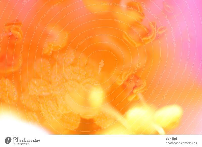 blütenstaub schön Blume Pflanze gelb Blüte Frühling orange rosa zart Staub Pollen Stempel