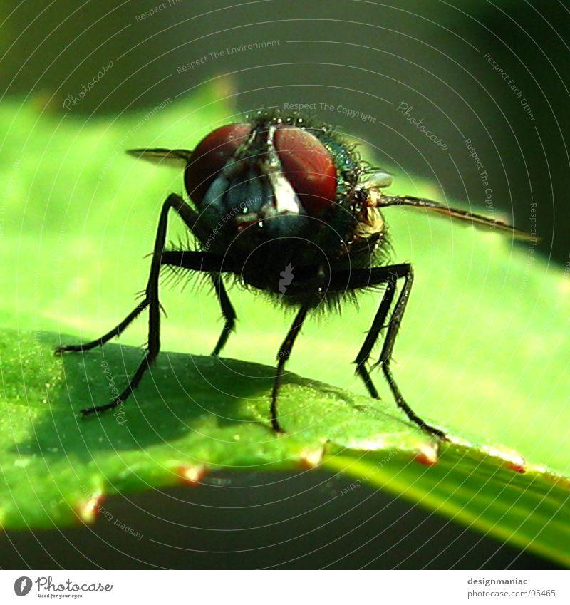 Schau mir in die Augen Kleines! Natur grün rot Pflanze Blatt schwarz Tier Garten Beine braun klein warten Fliege nah Flügel