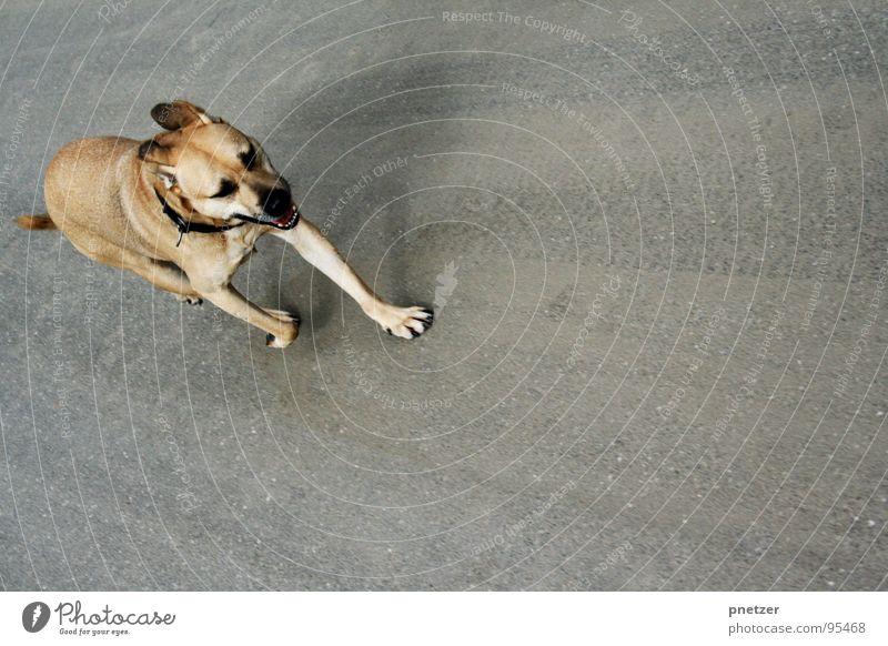 Jonny rennt Hund Labrador Mischling Asphalt grau Tier Haustier Spielen Säugetier Freude beife fell rennen Ohr Straße Straßenhund