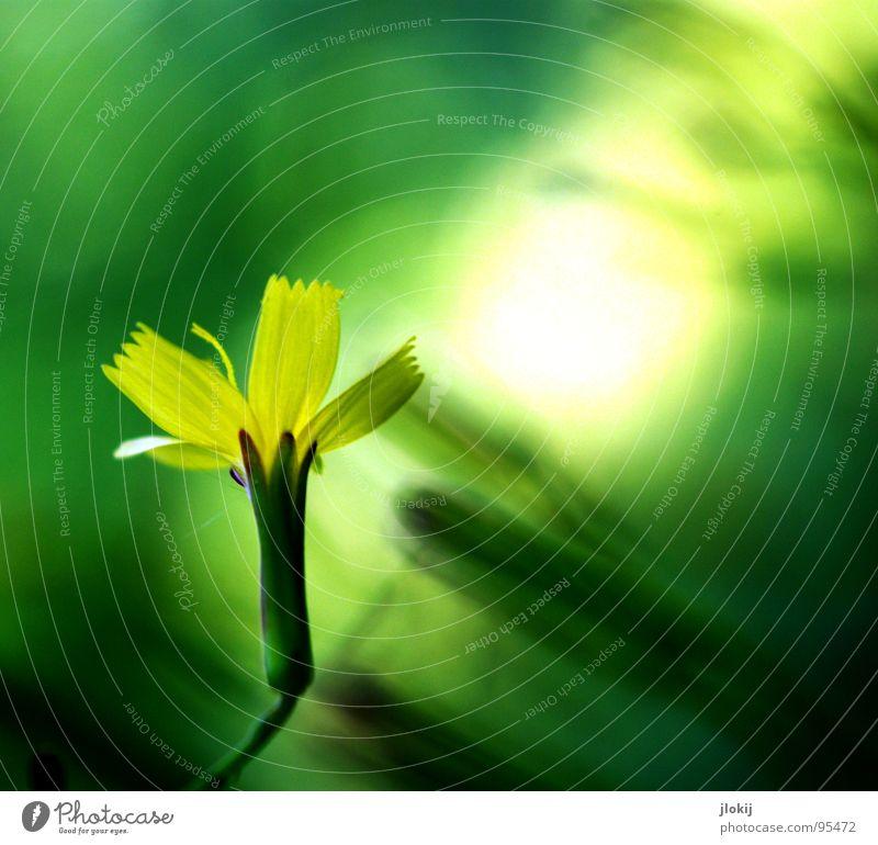 Lichtung Lichtpunkt Erkenntnis verwaschen Blüte Sträucher Blume Wachstum glänzend gelb grün Unschärfe zart zerbrechlich Pflanze Wiese Hintergrundbild Lampe