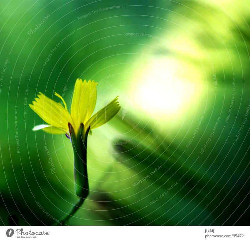 Lichtung Natur grün Pflanze Blume gelb Wiese Bewegung Blüte Garten Lampe Hintergrundbild glänzend Wachstum Sträucher zart Blütenknospen