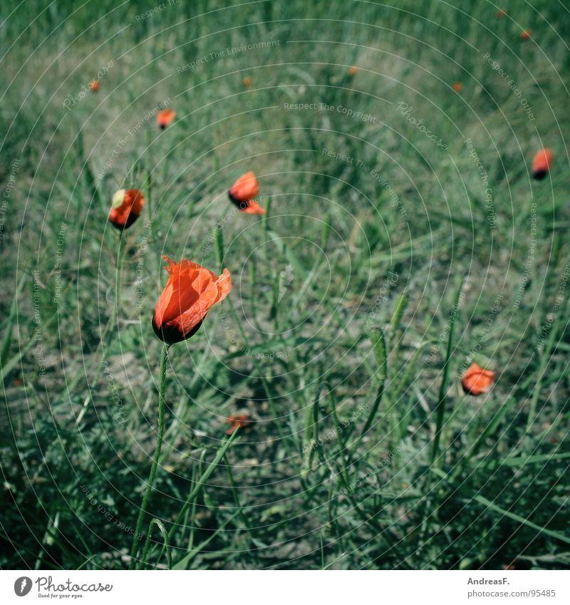 RotGrün Natur Blume grün rot Sommer Blüte Feld Wachstum Spaziergang Blühend Mohn Rauschmittel Samen Mohnblüte Klatschmohn Wegrand