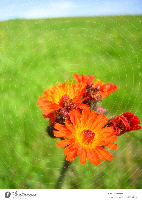 Wiesenblume Blume rot grün vertikal einzeln Makroaufnahme Nahaufnahme Farbe Himmel Kontrast Natur
