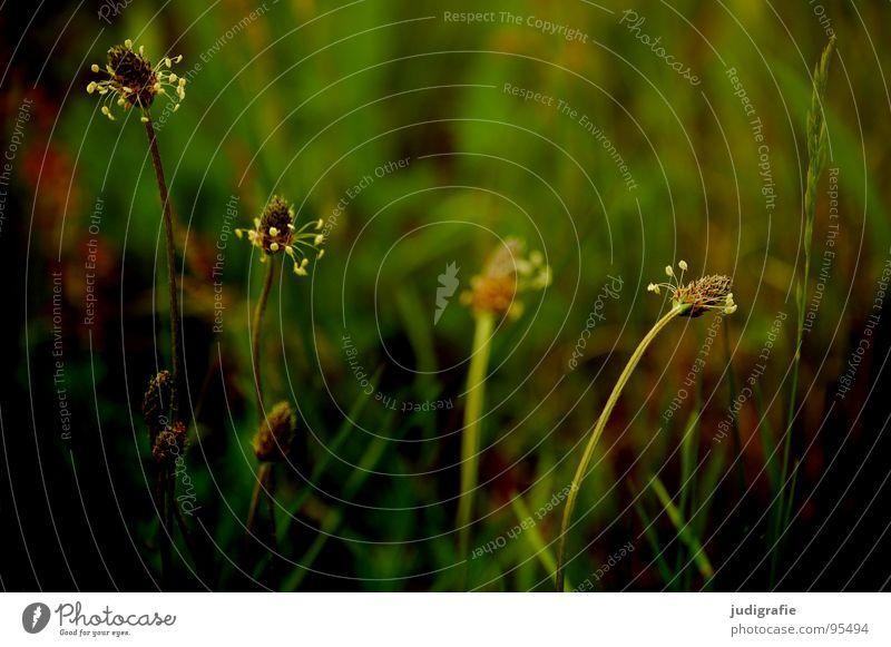 Wiese Spitzwegerich Heilpflanzen Pflanze Heide Blüte Blume Stengel rot braun schwarz Sommer Umwelt Wachstum gedeihen schön Farbe Wildtier Natur einfach Unkraut