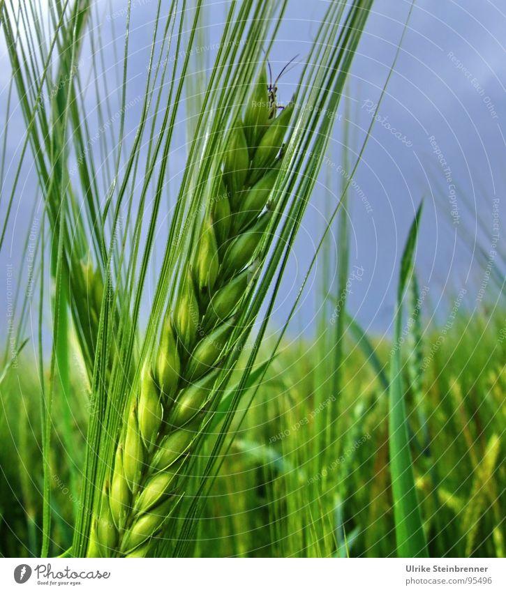 Grüne Gestenähre mit Heuschrecke vor blauem Himmel Farbfoto Außenaufnahme Lebensmittel Ernährung Umwelt Natur Nutzpflanze Feld Tier Fühler 1 Wachstum Neugier