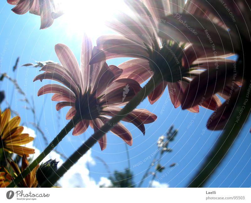 Unter den Blumen l rosa violett gelb Blüte Stengel dunkel erleuchten Gras Wolken weiß grau hell Fröhlichkeit Himmelskörper & Weltall Frühling Linie Sonne Lampe