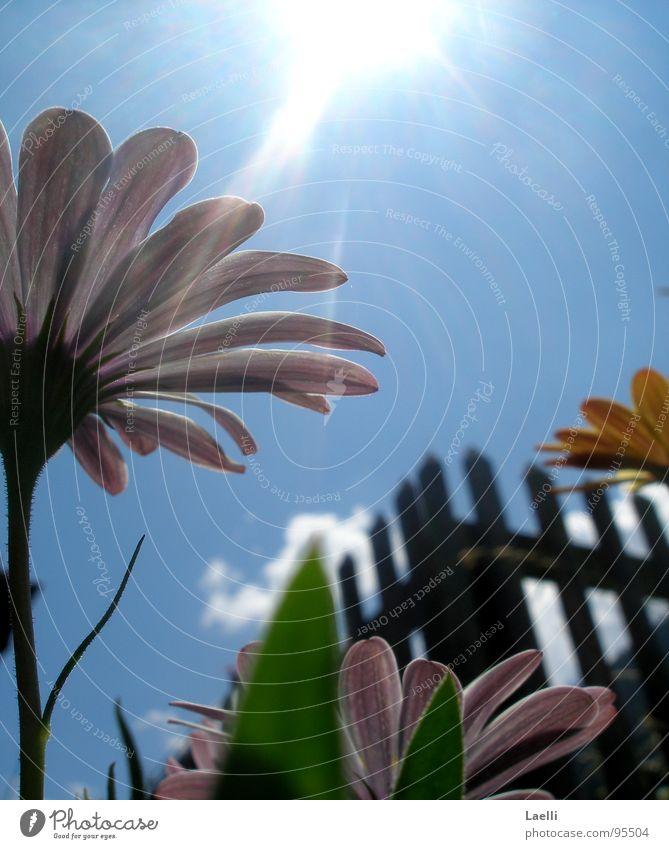 Unter den Blumen ll rosa violett gelb Blüte Stengel dunkel erleuchten Gras Wolken weiß grau hell Fröhlichkeit Zaun Frühling Himmelskörper & Weltall Linie Sonne