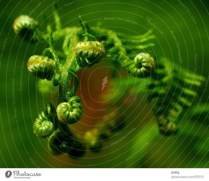 Gemeiner tibetanischer Kringelfarn grün Pflanze Wachstum Fächer Echte Farne Sporen Zecke Schatten feucht Lebensraum Natur kringeln Spitze Pteridopsida