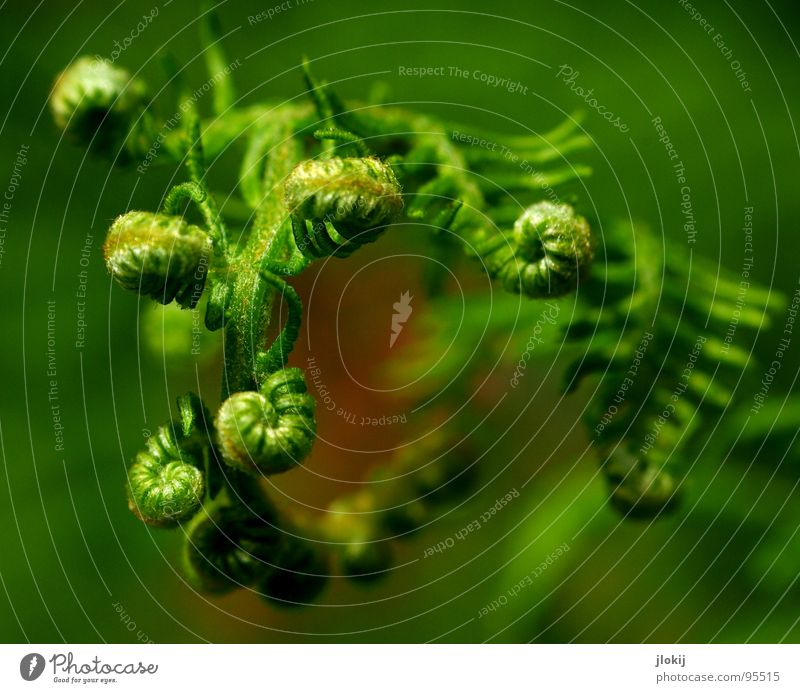Gemeiner tibetanischer Kringelfarn Natur grün Pflanze Leben Wachstum Spitze feucht Echte Farne Lebensraum Sporen Fächer Zecke