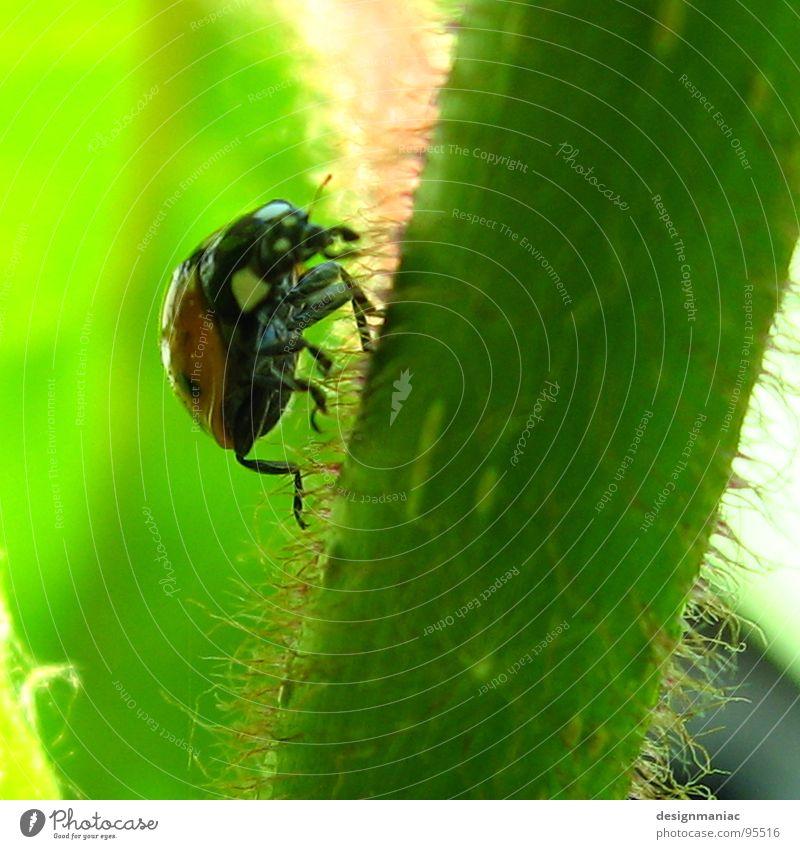 Auf geht's! Marienkäfer grün Stengel Stil krabbeln oben rot schwarz hellgrün Pflanze Gras klein Sommer Jäger steil Makroaufnahme Nahaufnahme Käfer ladybug Beine