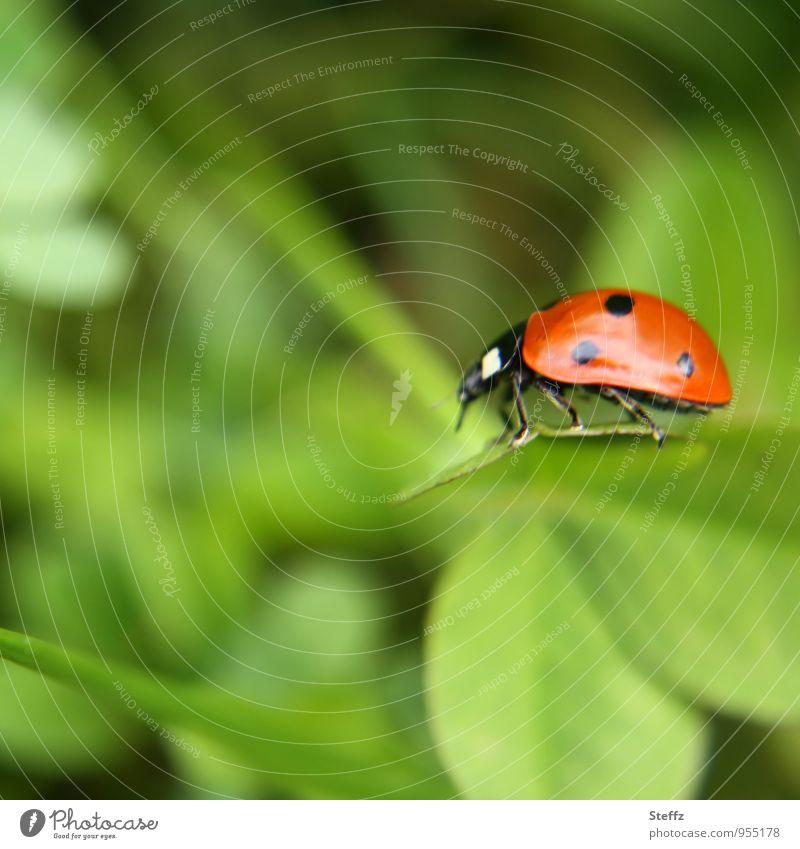 leichtfüßig Natur grün Sommer rot Blatt Glück Leichtigkeit Gleichgewicht krabbeln Käfer Marienkäfer Glückwünsche Kleeblatt Glücksbringer Glücksklee