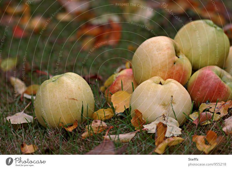 Fallobst im Herbstgarten Äpfel Apfelernte frisches Obst Gartenobst Bio Obstgarten Obsternte Apfelsorten Bioprodukte Wintervorrat Vorrat reife Äpfel