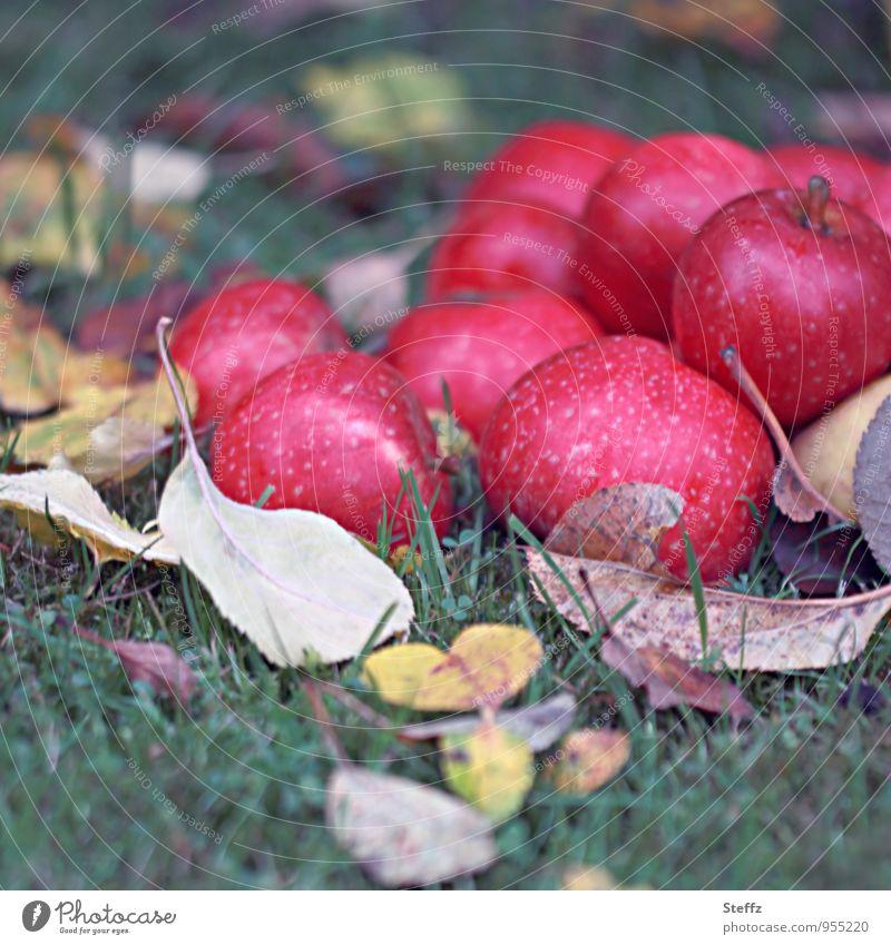 die letzten Äpfel des Jahres Apfelernte rote Äpfel Obsternte Bioprodukte Ernte Vorrat frisches Obst reife Äpfel Frucht Vitamin Herbstfärbung Obstgarten