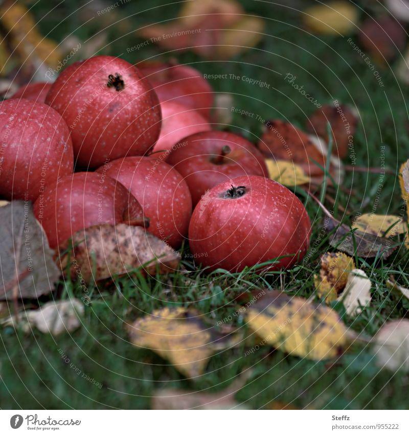Apfelernte im Herbstgarten Äpfel rote Äpfel Kernobst Obst Obstgarten Ernährung organisch Bio Bioprodukte Vorrat Wintervorrat Lebensmittel Vitamin gesund saftig