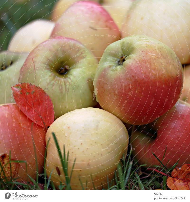 knackig frische Äpfel aus dem Obstgarten Apfelernte Diät Bio Bioprodukte frisches Obst Obsternte Fallobst Gartenfrüchte ernten Vorrat Frucht gesund verlockend