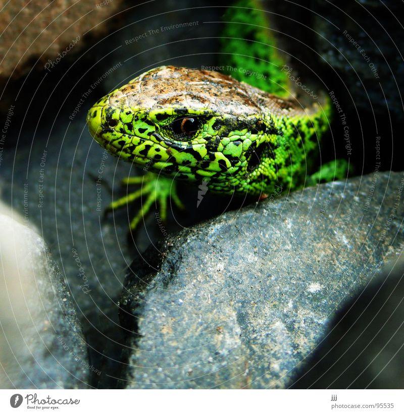 Bahndammreptil grün Auge Stein Fuß Reptil Echsen Echte Eidechsen