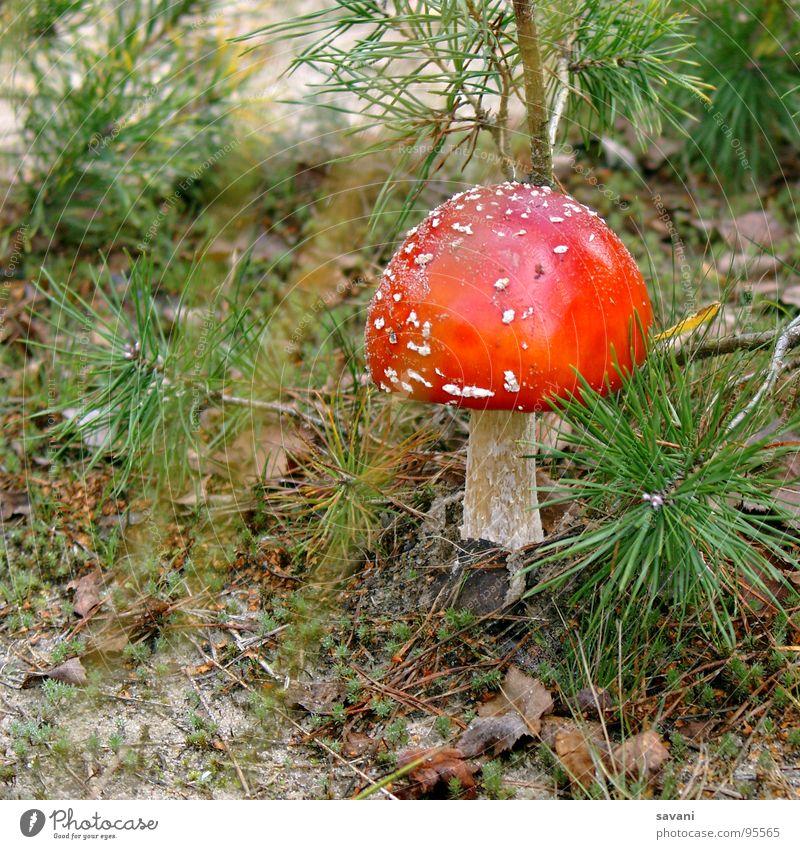 Fliegenpilz I Natur Wald Glück Pilz Umweltschutz Gift