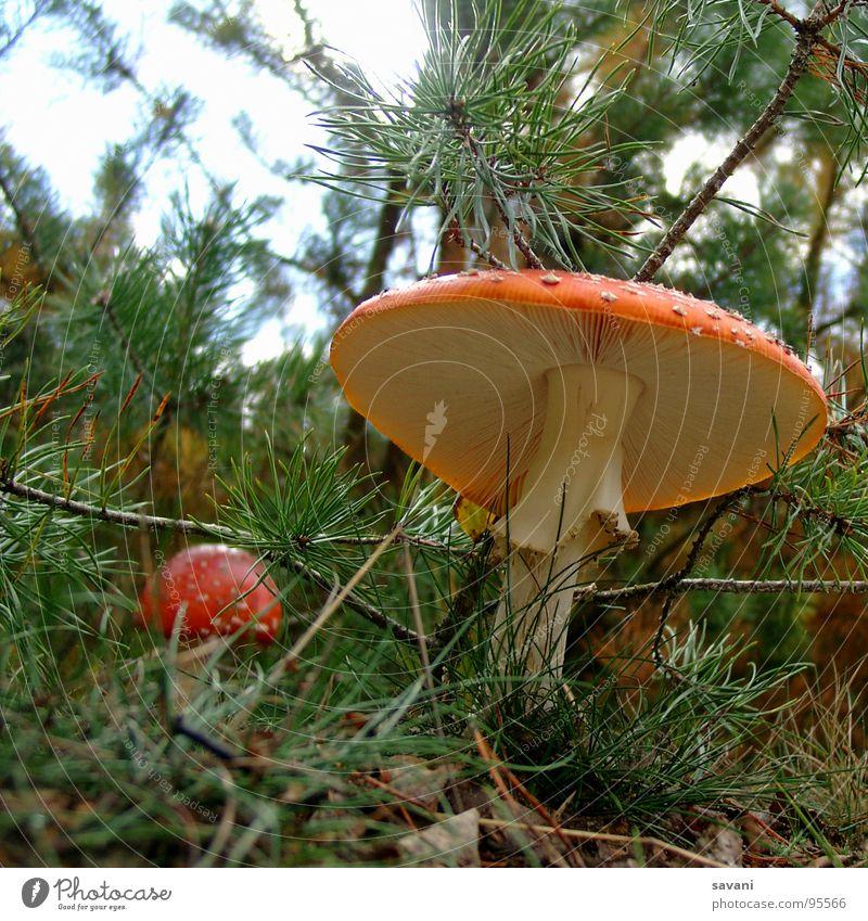 Fliegenpilz aus der Froschperspektive Natur Pilz Wald Glück Umwelt Gift Farbfoto Außenaufnahme Nahaufnahme Textfreiraum oben Textfreiraum unten Tag grün Pilzhut
